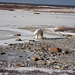 Polar Bear at Churchill Manitoba by orclimber