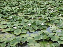 1130 Aquatic Plants