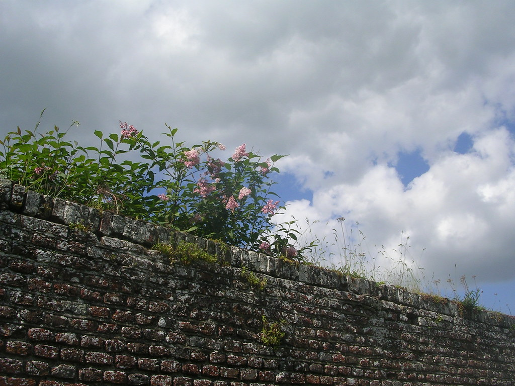 Pink stuff on old wall Penshurst Place. Hever to Leigh