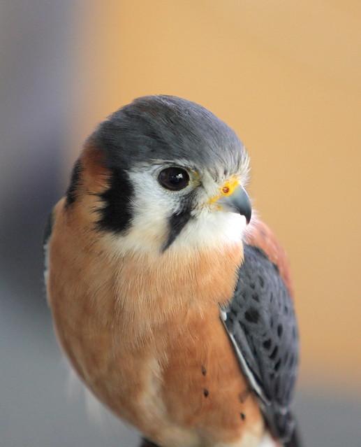 Baby American Kestrel (Falco sparverius)   Explore jeffk42 ...