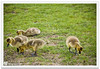 Goslings by mnd.ctrl