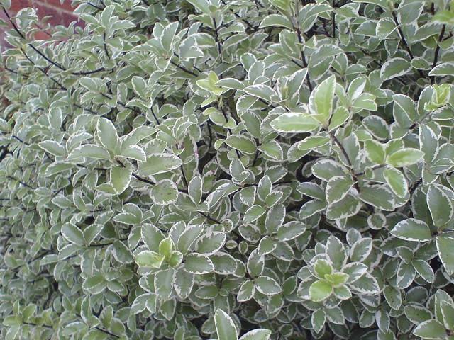 Pittosporum tenuifolium 'Majory Channon'