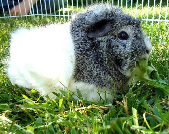 Beatrice enjoying her lettuce