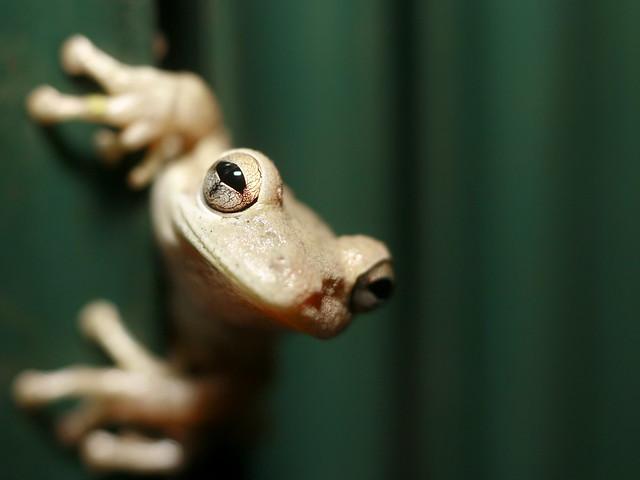 uncooperative probablynotalbino tree frog flickr