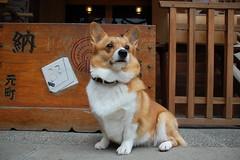 puppy(0.0), dog breed(1.0), animal(1.0), akita inu(1.0), dog(1.0), shiba inu(1.0), pet(1.0), pembroke welsh corgi(1.0), carnivoran(1.0), welsh corgi(1.0),