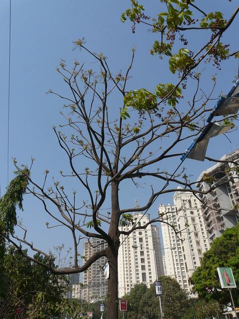 Poon tree | Flickr - Photo Sharing!