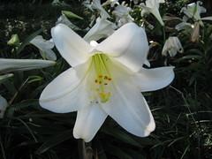 amaryllis belladonna, lily, flower, flora,