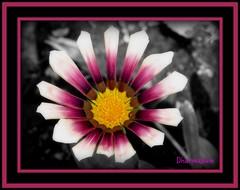 Flower on black/white