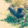 Fat old Takahe