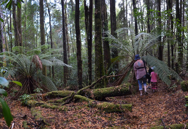Not quite sure if we're still on Old Telegraph Hill Walk - Tarkine Wilderness - Corinna - Tasmania