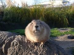 pet(0.0), capybara(0.0), wildlife(0.0), animal(1.0), rodent(1.0), prairie dog(1.0), fauna(1.0), muskrat(1.0), marmot(1.0),