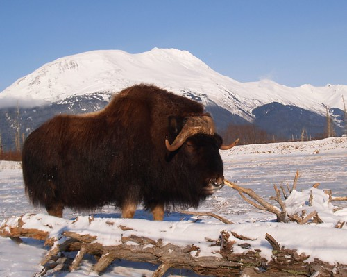 Musk Ox of Alaska - Explored