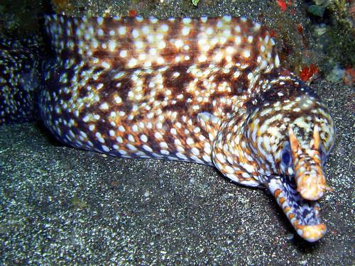 leopard moray (トラウツボ) #979