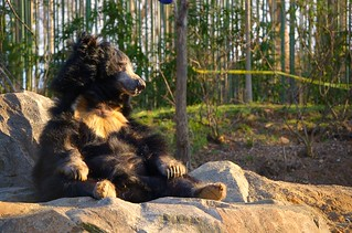 Sloth Bear loves sunsets and walks on the beach
