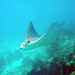 Small photo of Eagle Ray