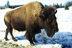 bull(0.0), pasture(0.0), cattle-like mammal(1.0), animal(1.0), mammal(1.0), fauna(1.0), muskox(1.0), cattle(1.0), yak(1.0), bison(1.0), wildlife(1.0),
