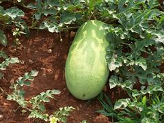 flower(0.0), figleaf gourd(0.0), produce(0.0), food(0.0), melon(0.0), vegetable(1.0), plant(1.0), green(1.0), fruit(1.0), winter melon(1.0), cucurbita(1.0), gourd(1.0),