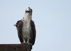 Osprey, Los Angeles Co., CA