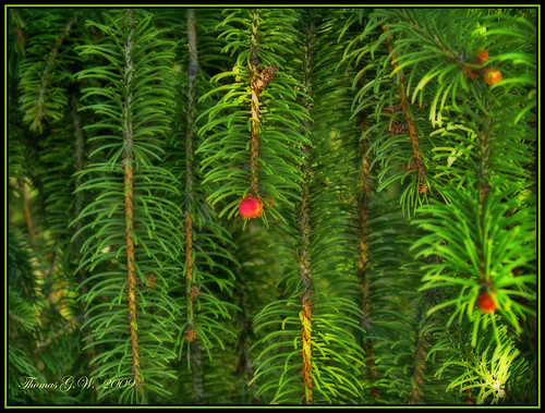 "sun geotagged olympus evergreen fir 1001nights hdr orton evolt e500 supershot photographyrocks golddragon mycameraneverlies eliteimages concordians theperfectphotographer goldstaraward flickrestrellas rubyphotographer artofimages ""flickraward"" awesomeshotsaward thogarwe"