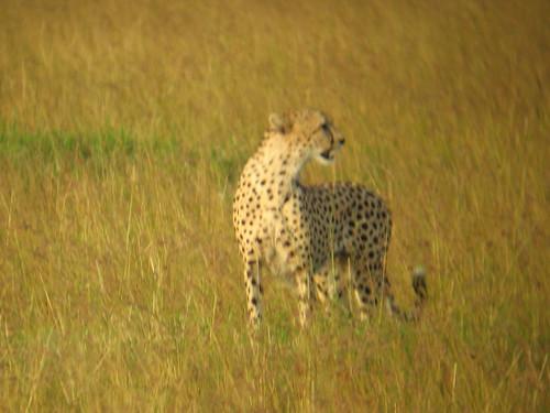G C Cheetah1