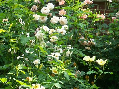 Baltimore Roses