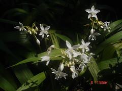 lily(0.0), blossom(0.0), hymenocallis(0.0), macro photography(0.0), flower(1.0), hymenocallis littoralis(1.0), plant(1.0), flora(1.0),