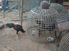 Roosters in Hand-Made Cage on Farm in Rural Thailand