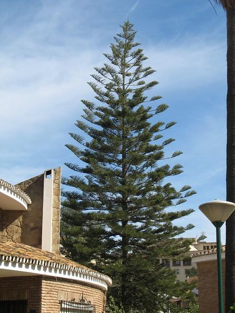 Mature Pine Tree 54