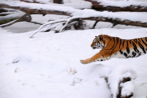 Tiger jumping into frame