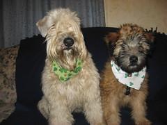 dog breed, animal, dog, schnoodle, pet, glen of imaal terrier, mammal, schnauzer, cesky terrier, catalan sheepdog, sapsali, cairn terrier, irish soft-coated wheaten terrier, cockapoo, terrier,