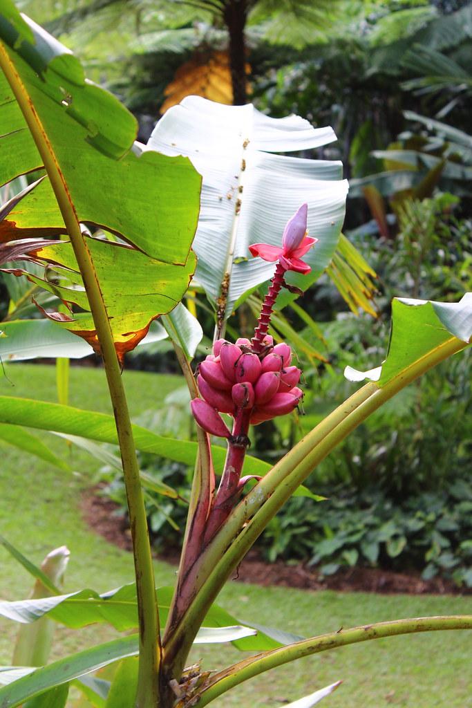 graines de palmiers musa velutina bananier rose lot de 10 graines et ebay. Black Bedroom Furniture Sets. Home Design Ideas