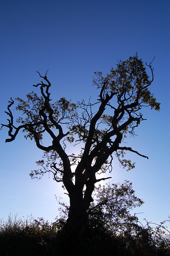 Gnarled tree @ Blundeston, Suffolk