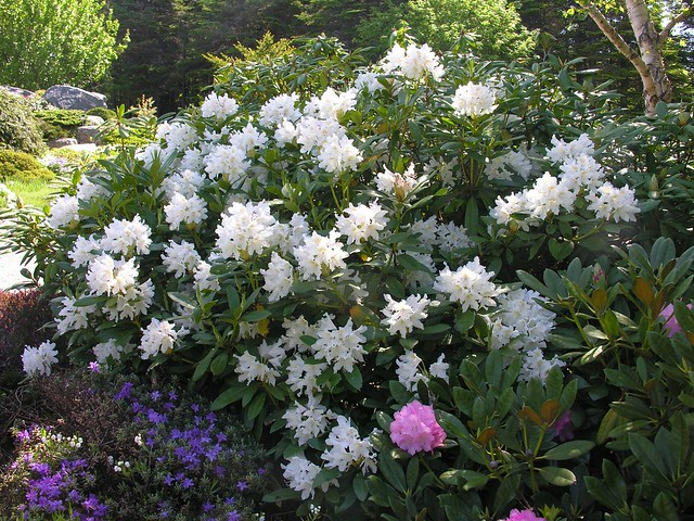 rhododendron cunningham 39 s white flickr photo sharing. Black Bedroom Furniture Sets. Home Design Ideas