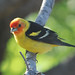 Western Tanager - Photo (c) Jerry Oldenettel, some rights reserved (CC BY-NC-SA)