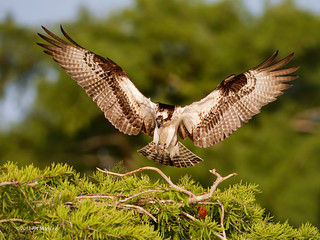 osprey landing at Lake Blue Cypress, Vero Beach, Florida