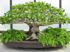 shrub, branch, tree, plant, sageretia theezans, houseplant, bonsai,