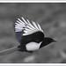 Magpie midflight by charminbayurr