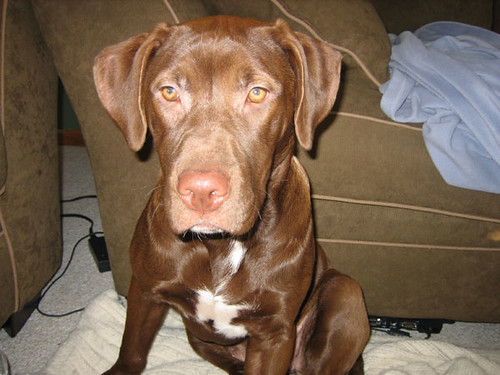 Chocolate Lab / American Bulldog Mix - 4 Months old | Flickr - Photo ...