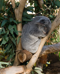 wildlife(0.0), animal(1.0), branch(1.0), mammal(1.0), koala(1.0), fauna(1.0), jungle(1.0),