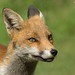 Red Fox by KHR Images