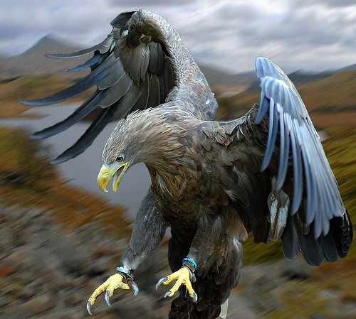 White Tailed Sea Eagle Set Free