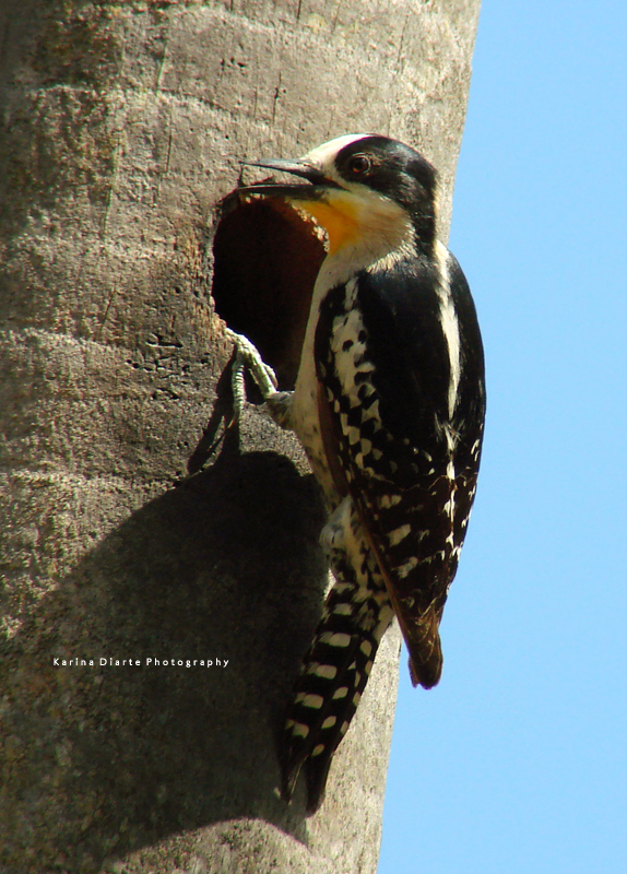 Carpintero del Cactus / White-fronted Woodpecker