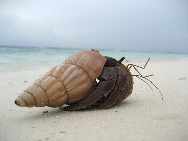 maldives hermit crab
