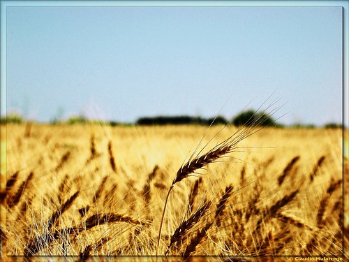 Trigales / Wheat fields