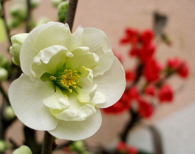 japanese quince symbolism Chaenomeles speciosa (commonly known as flowering quince, chinese quince, or japanese quince in the context of in traditional chinese medicine known as zhou pi mugua) is a thorny deciduous or semi-evergreen shrub native to eastern asia.
