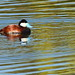 Ruddy Duck on Arastradero Lake