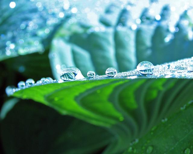 Raindrops on the edge of a Hosta leaf