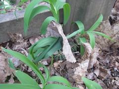 growing through a dead leaf