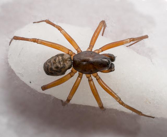 Neriene clathrata | Lyniphiidae