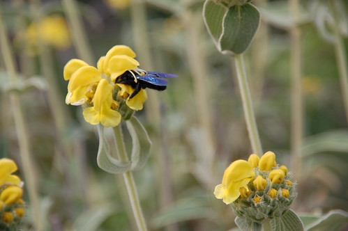 Phlomis fruticosa Jerusalem-Salbei Strauchbrandkraut